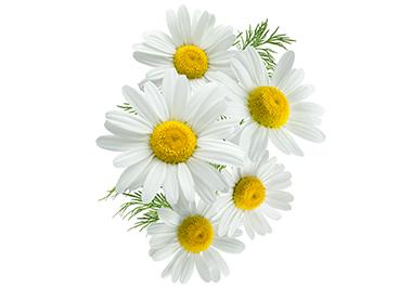 Anthemis Nobilis Flower Extract - Anthemis Nobilis (Chamomile) Extract