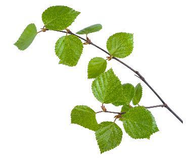 Betula Alba Leaf Extract - Betula Alba Leaf Extract