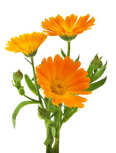 Calendula Officinalis Flower Extract - Calendula Officinalis Flower Extract