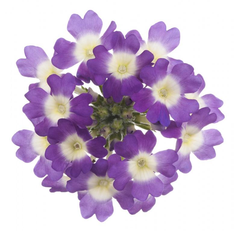 Lippia Citriodora Flower Water