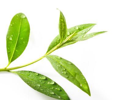 Melaleuca Alternifolia Leaf Oil - Melaleuca Alternifolia Leaf Oil