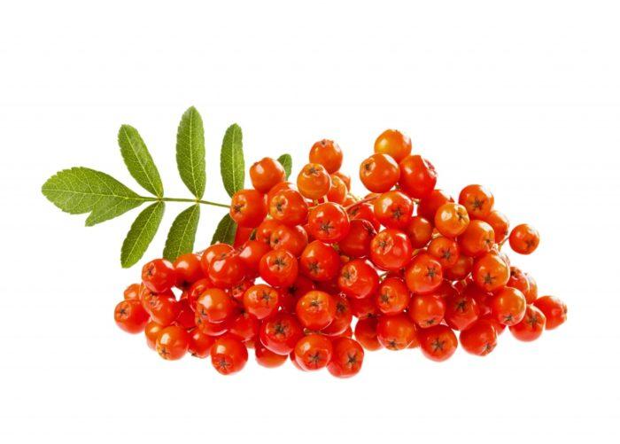 Sorbus Sibirica Extract 700x501 - Sorbus Extract