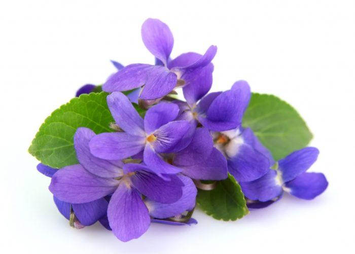 Viola Odorata Extract 700x501 - Viola Odorata Extract