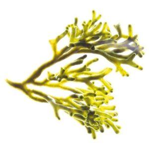 Codium Tomentosum (Algae) Extract